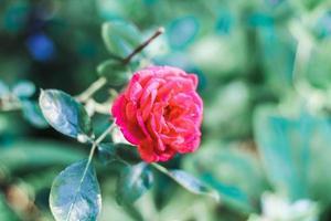 Fotografía de enfoque selectivo de flor de pétalos de rosa foto