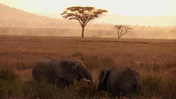 Madre elefante africano con un bebé elefante comiendo vegetación de la sabana africana durante la puesta de sol foto