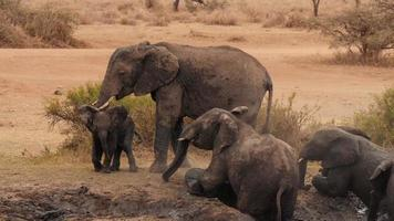 Madre elefante africano disfrutando de un baño de barro con sus hijos foto