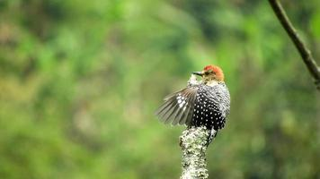 A red bellied and headed woodpecker sitting on a branch of tree spreading its wings inward photo