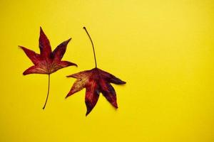 red maple leaves on the yellow background photo