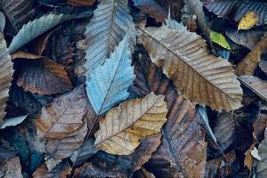 hojas secas marrones en el suelo en la temporada de otoño foto