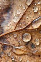 hojas secas marrones en la temporada de otoño foto