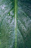 Gotas sobre las hojas de las plantas verdes en días lluviosos. foto