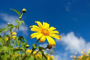 Mexican Sunflower Weed  Bau tong flower  with blue sky and blank area at right side at Mae Hong Son Thailand photo