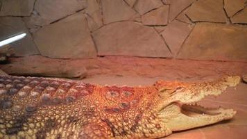 Big Crocodile Cayman video