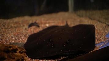 Fish stingray in aquarium video