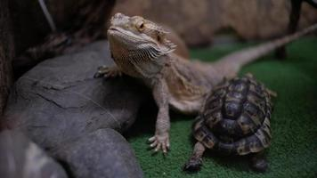 Bearded dragon and turtle in terrarium video
