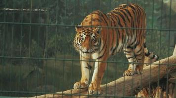 amur tiger behind bars in full growth standing on a log video