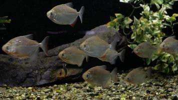 piranhas i akvariet video