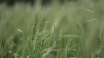 spighette di grano che ondeggiano al vento video