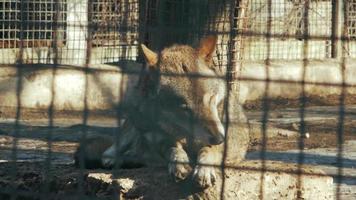 european wolf washing in zoo video
