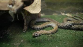 Grass snake in terrarium video
