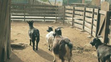 Las cabras caminan en el corral a cámara lenta. video