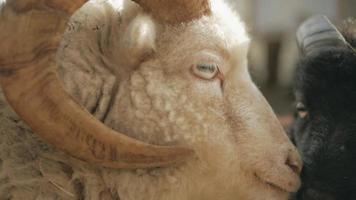 Cordero blanco y cabra negra en el corral de cerca a cámara lenta video