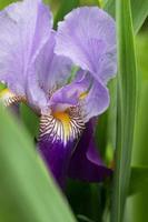 flor de iris violeta foto