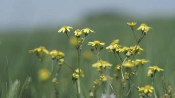Yellow wild daisies video