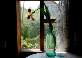 A withered tulip in a green bottle on a table by the window in an old house photo