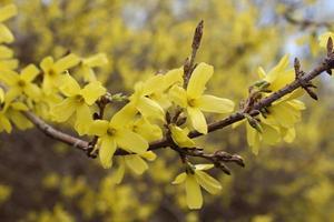una rama de arbusto amarillo forsythia floreciente foto