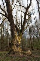 Hermoso árbol vintage ramificado en los rayos del sol en el bosque de primavera cubierto de musgo foto