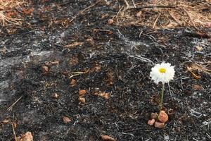 flor blanca sobrevive en la ceniza de la hierba quemada foto