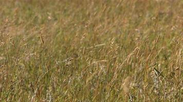 Nahaufnahme von Gras weht im Wind, Zeitlupe video