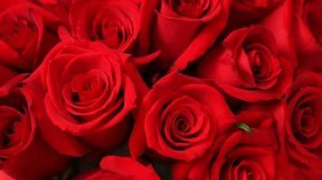 Nahaufnahme der roten Rosen des Valentinstags video