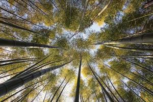 Bosque de bambú de Arashiyama en Kioto, Japón foto