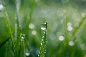 Gotas sobre las hojas de la hierba verde en la temporada de primavera. foto