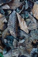 frosty dry brown leaves in winter season photo