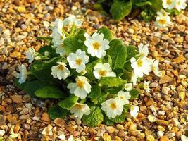Planta de prímula blanca que florece en un lecho de grava foto