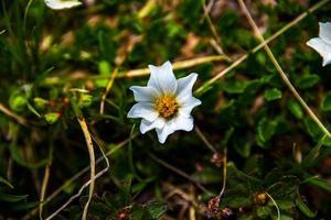 Dryas octopetala flower photo