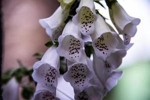 flor de digitalis purpurea foto