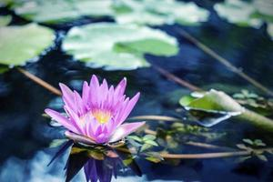 Lotus flower with green leaves in pond photo