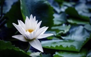 White lotus flower with green leaves in pond photo