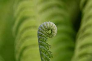 Young fern seedling unfurling photo
