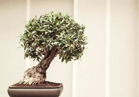 pequeño bonsai de japón foto