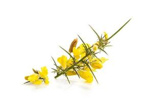 Tojo amarillo fresco en flor aislado sobre fondo blanco. foto
