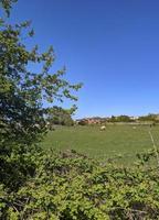 campos y ovejas foto
