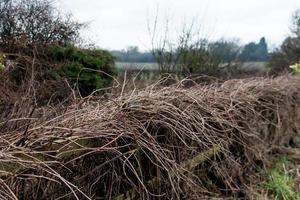 A Brown Hedge photo