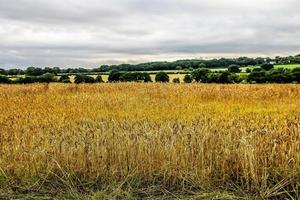 The Golden Fields photo