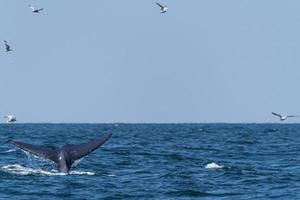 Bruda whale swimming up to the surface showing at the gulf of Thailand photo
