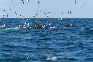 Whale Bruda feed on a wide variety of fish photo