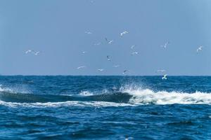Seagulls flying on top before Whale bruda feed on a wide variety of fish with in gulf of Thailand photo
