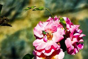 Pink rose and green insect photo