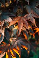 Colorful background with orange autumnal leaves with copy space and sun beans photo