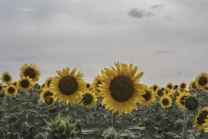 girasol amarillo en el campo hojas verdes foto