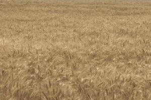 rye field Wheat Field with the Sun Golden Wheat Ears close up A fresh Crop of Rye photo