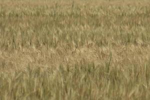 rye field Wheat Field with the Sun Golden Wheat Ears A fresh Crop of Rye photo