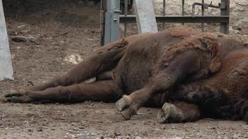 Sleeping Buffalo/Bison video